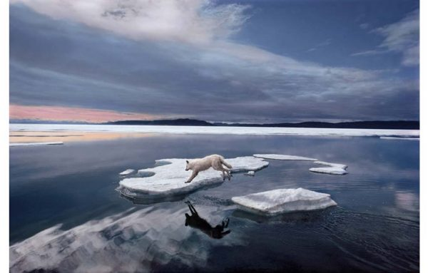 Polar bear jumping from ice to ice
